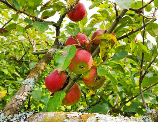 rädda äpplena - plocka äpplen gratis